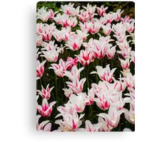 White and Pink Tulips (Tulipa) Canvas Print