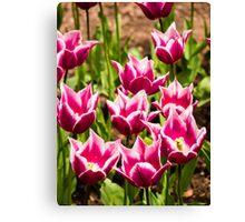 Pink Tulips (Tulipa) Canvas Print
