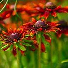 Cone Flower by Jarede Schmetterer