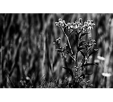 Wildflower in Black and White Photographic Print
