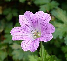 Purple Veins by Jess Meacham