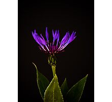 Blue Cornflower (Centaurea Cyanus) Photographic Print