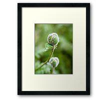 Poppy Buds Framed Print