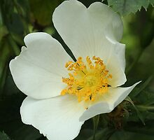 A Wild White Briar Rose for Robbie by Rivendell7