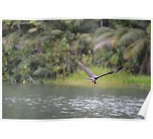 Male Snail Kite With Snail Poster