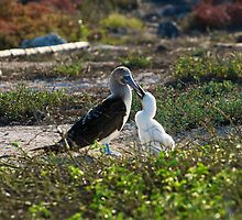 Blue Footed Booby feeding the baby by Bruce Alexander
