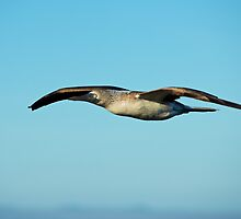 Blue Footed Booby in flight by Bruce Alexander