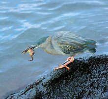 Striated Heron feeding on a crab in the Galapagos by Bruce Alexander