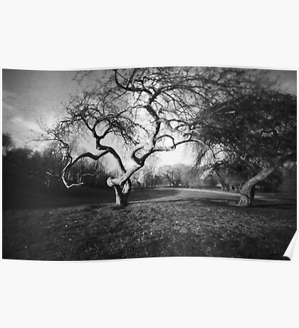 Gnarly Old Tree in Spring : Pinhole Study Poster