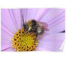 Bumble Bee Macro Poster