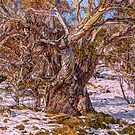 Snow Gum Abstract - Perisher Valley NSW - The HDR Experience by Philip Johnson