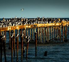 Cormorants on Pier by Justharry
