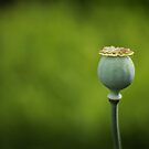 Poppy Bud by Tracy Friesen