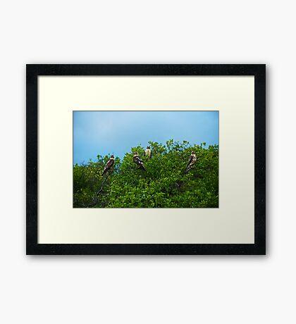 Galapagos Hawks Framed Print