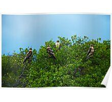 Galapagos Hawks Poster