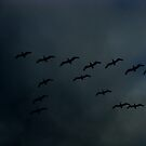 pelicans in a dark sky by Tim Horton