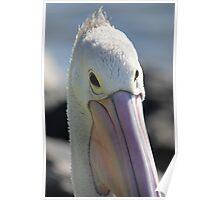Pelican at Port Macquarie Poster