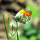 Orange Tip Butterfly by Russell Couch