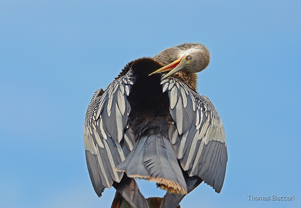 Anhinga Prunning by TJ Baccari Photography