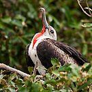 Juvenile Male Frigatebird (Fregata Magnificens) from Ecuador by Paul Wolf