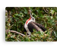 Juvenile Male Frigatebird (Fregata Magnificens) from Ecuador Canvas Print