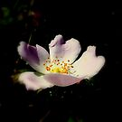 Dog rose. by Livvy Young