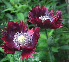 """Drama Queen"" Poppy by Pat Yager"