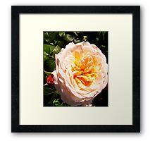 Governor General's Roses  7 Framed Print