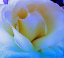 White Rose by wallarooimages