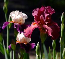Lady Friend - Bearded Iris by Gabrielle  Lees