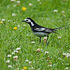 Pied Wagtail by VoluntaryRanger