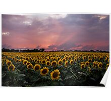 Sunflowers at Sunset Poster
