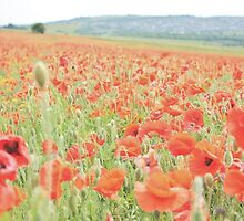 Poppy Field #5 by Matthew Floyd