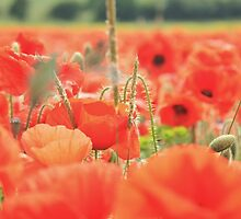 Poppy Field #9 by Matthew Floyd