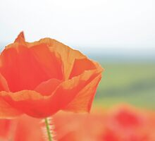 Poppy Field #10 by Matthew Floyd