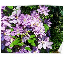Clematis Beauty Poster