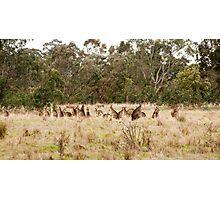 Troop of Kangaroos Photographic Print