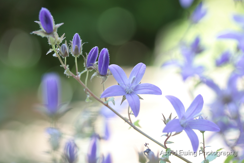 Campanula by Astrid Ewing Photography
