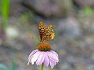 Butterfly on Coneflower by Susan S. Kline