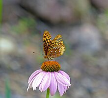 Butterfly on Coneflower by Susan S. Kline