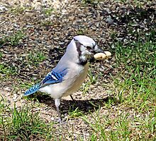 Blue Jay with a peanut by crspix
