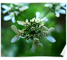 Parsley Flowers Poster