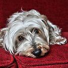 Pepper the Silky Terrier by Susanne Correa
