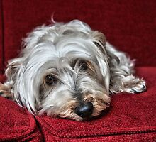 Pepper the Silky Terrier by Susanne Correa