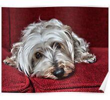 Pepper the Silky Terrier Poster
