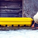 Duck With Cold Feet. by LittlePhotoHut