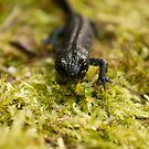 great crested newt 2 by Steve Shand