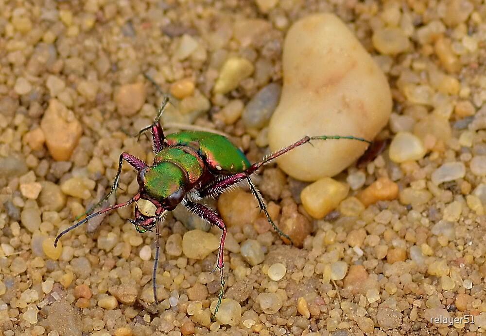 Green Tiger Beetle [ Cicindela campestris ] by relayer51