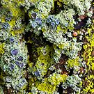 Lichens on a Tree by Sheri Nye
