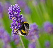 Lost In Lavender by Susie Peek